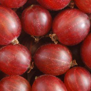rote Stachelbeere in robuster und ertragreicher Sorte