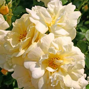 Bodendecker-Rose 'Golden Sun'