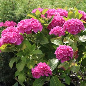 Ballhortensie (rosa)