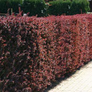 blutberberitze rote heckenberberitze 39 atropurpurea. Black Bedroom Furniture Sets. Home Design Ideas