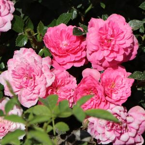 Bodendecker-Rose 'Knirps' ®