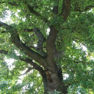 deutsche eiche oak quercus robur pflanzenschleuder. Black Bedroom Furniture Sets. Home Design Ideas