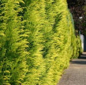 Gelbe Gartenzypresse 'Stardust'