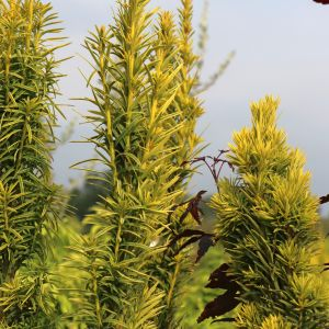 Gelbe Säuleneibe 'Fastigiata Aureomarginata'