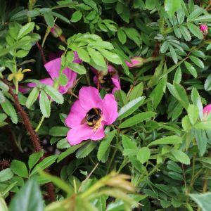 Glanzblättrige Rose
