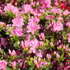Japanische Azalee 'Kermesina Rose'