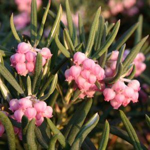 Lavendelheide (echte) / Behaarte Rosmarinheide