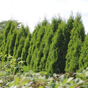 lebensbaum 39 smaragd 39 thuja occidentalis 39 smaragd 39 pflanzenschleuder. Black Bedroom Furniture Sets. Home Design Ideas
