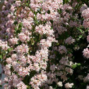 Perlmuttstrauch Kolkwitzie überreiche Blüte in Rosa
