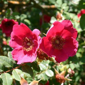 Rote Büschelrose / Mandarin-Rose