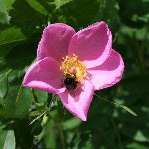 Sandrose / Carolina-Rose / Wiesenrose