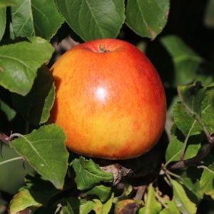 cox orange apfelmus