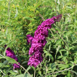 Sommerflieder / Schmetterlingsstrauch 'Royal Red'