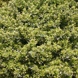 Spindelstrauch / Kriechspindel 'Emerald'n Gaiety'