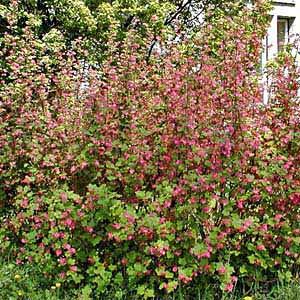 Blutjohannisbeere 'King Edward' - Ribes sanguineum 'King Edward'