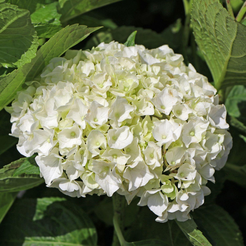 bauernhortensie wei hydrangea macrophylla wei. Black Bedroom Furniture Sets. Home Design Ideas