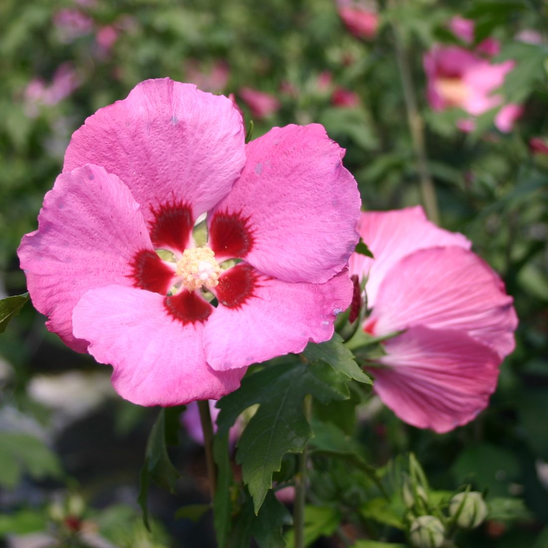 garteneibisch 39 woodbridge 39 hibiscus syriacus 39 woodbridge 39 pflanzenschleuder. Black Bedroom Furniture Sets. Home Design Ideas