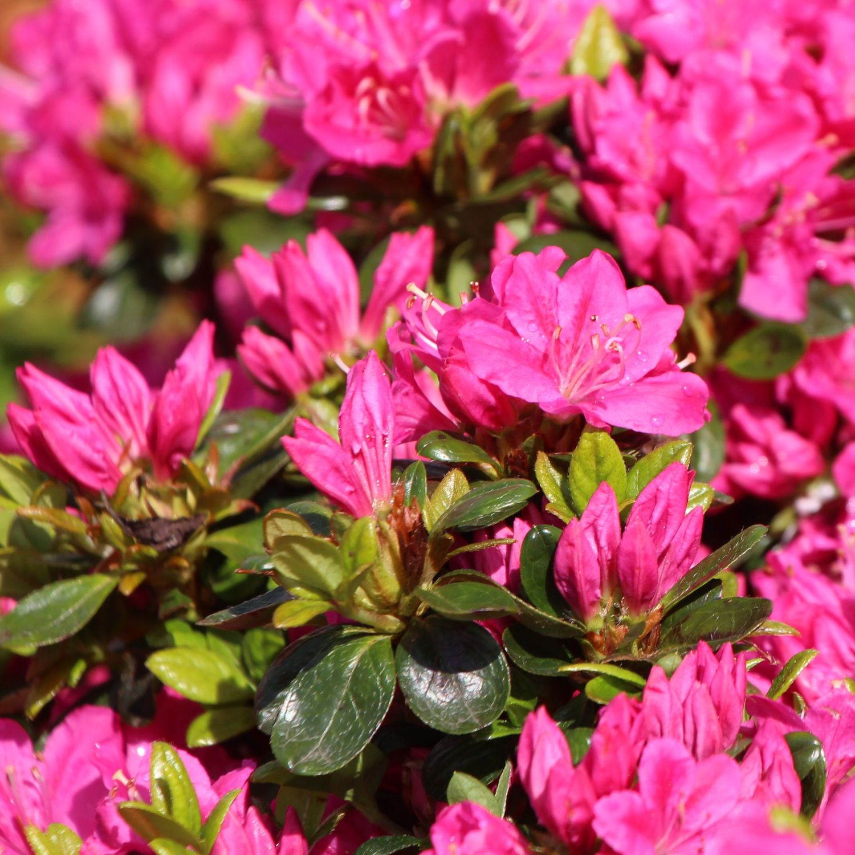 japanische azalee 39 kermesina 39 rhododendron obtusum 39 kermesina 39 pflanzenschleuder. Black Bedroom Furniture Sets. Home Design Ideas