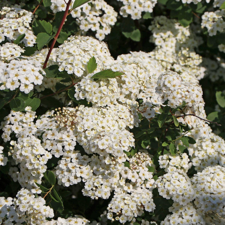 weißblühende japanische Strauchspiere