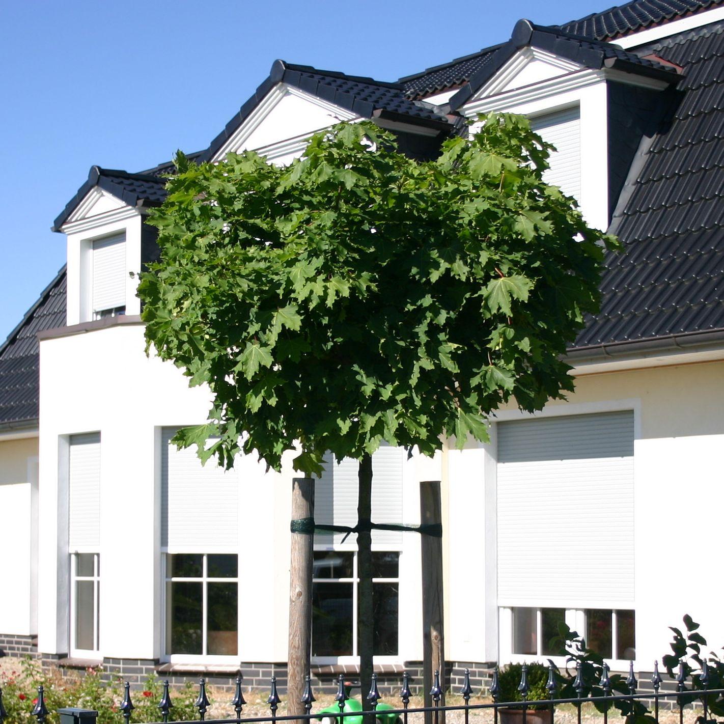 kugelahorn kugelbaum 39 globosum 39 acer platanoides 39 globosum 39 pflanzenschleuder. Black Bedroom Furniture Sets. Home Design Ideas