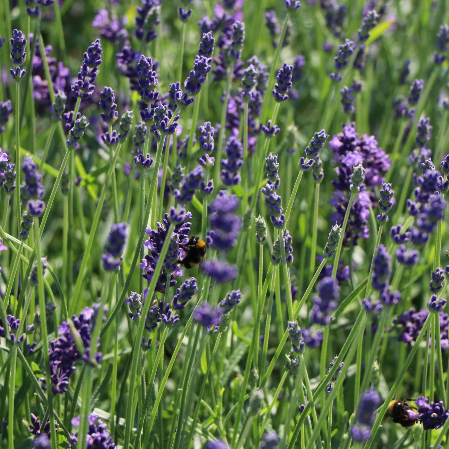 lavendel 39 hidcote blue 39 39 strain 39 lavandula angustifolia 39 hidcote blue 39 39 strain. Black Bedroom Furniture Sets. Home Design Ideas
