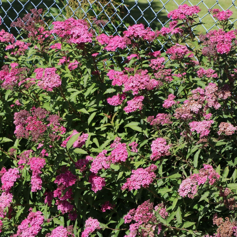 rote sommerspiere 'anthony waterer' - spiraea bumalda 'anthony, Gartenarbeit ideen
