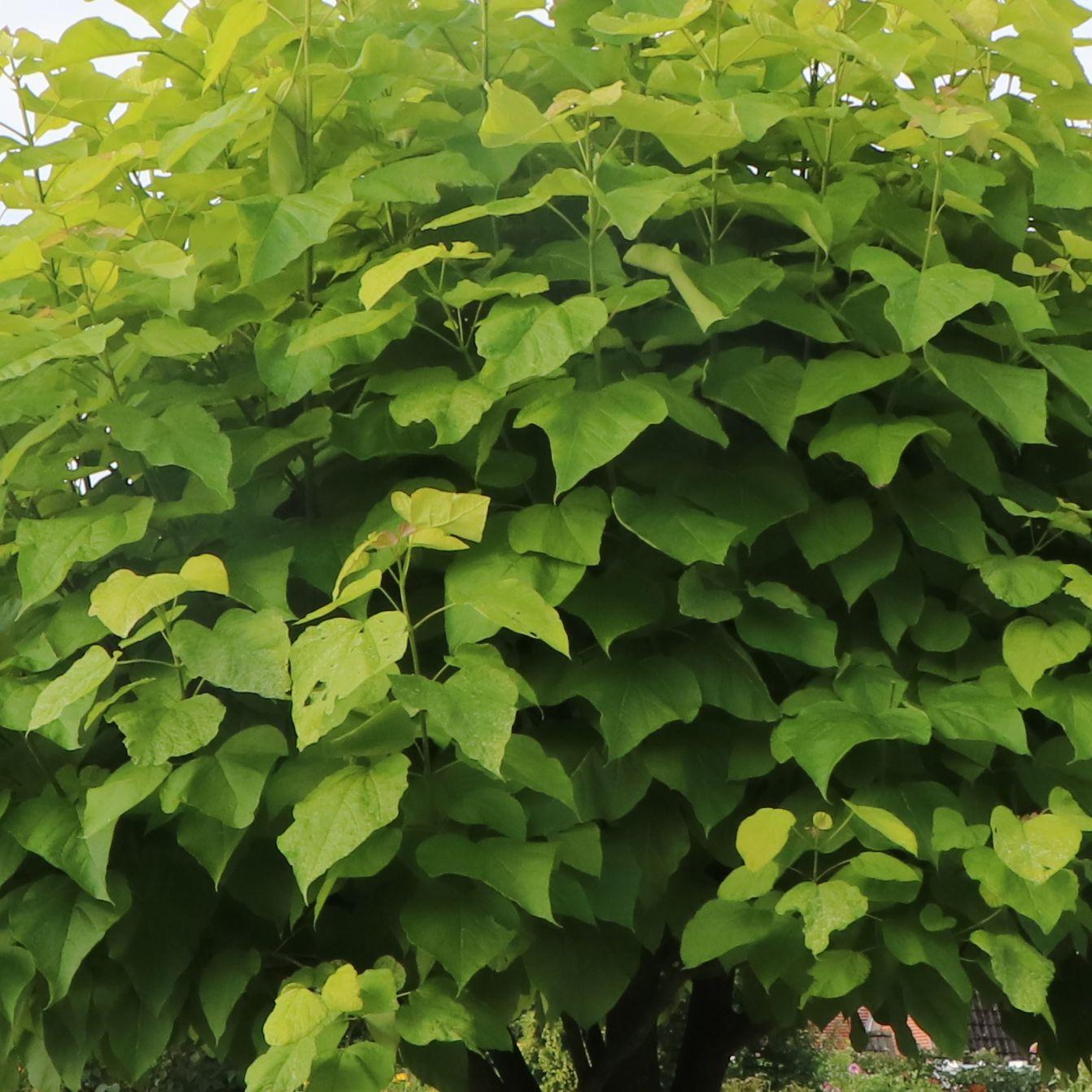 wann kann ich einen trompetenbaum pflanzen