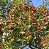 Apfeldorn / Lederblättriger Weißdorn 'Carrierei'