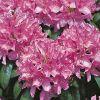 [Bild Rhododendron 'Roseum Elegans']