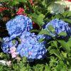Ballhortensie (Blau)