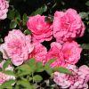 Bodendecker-Rose 'Knirps' ®