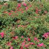 Bodendeckerrose 'Gärtnerfreude' ® / 'Toscana' ®
