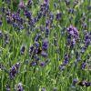[Bild Lavendel 'Hidcote Blue' / 'Strain']