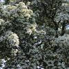 Pflaumenblättrigen Weißdorn