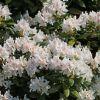 [Bild Rhododendron 'Cunningham's White']