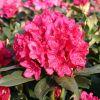 [Bild Rhododendron 'Nova Zembla']