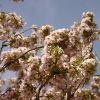 Schneekirsche / Winterkirsche / Japanische Blütenkirsche 'Autumnalis'