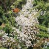 Sommerflieder / Schmetterlingsstrauch 'White Profusion'