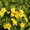 Waldsteinie / Dreiblatt Golderdbeere