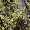 Weißbunter Hartriegel 'Elegantissima'